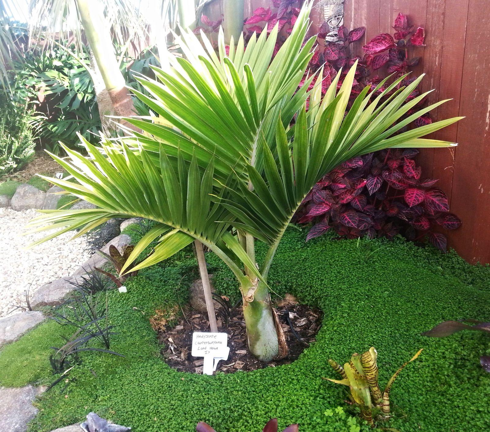 Growing tropical palms indoors - Tropics @Home