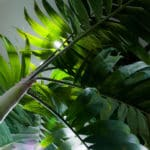 Tropical palm growing indoors