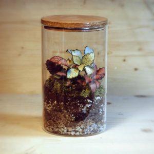 Fittonia in terrarium