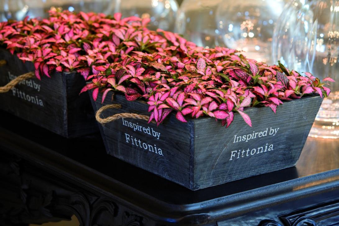 Fittonia albivenis in wide planters
