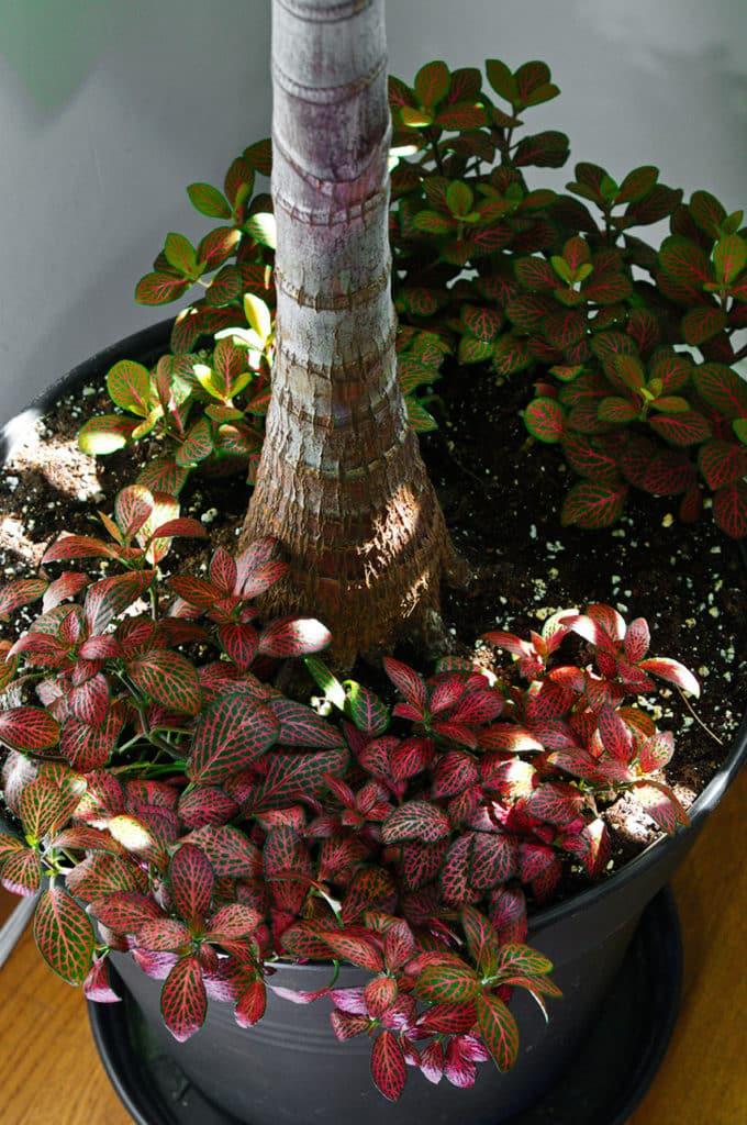 Fittonia planted around palm