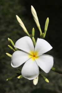 Evergreen Plumeria species.