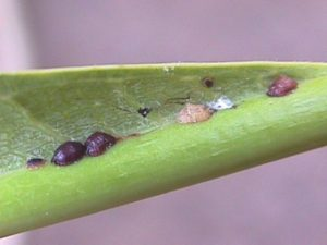 Plumeria scale insects