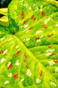 Caladium description