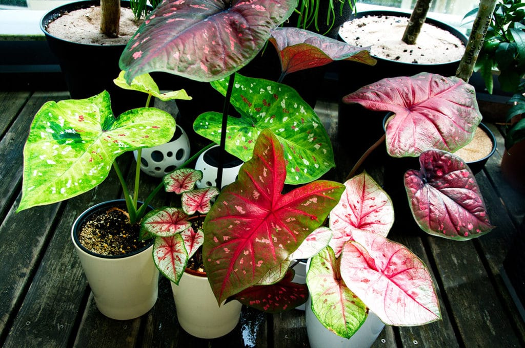Caladium care indoors