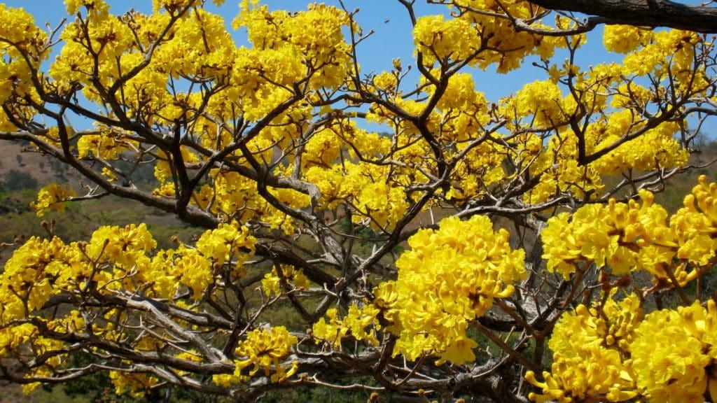 Cortez tree