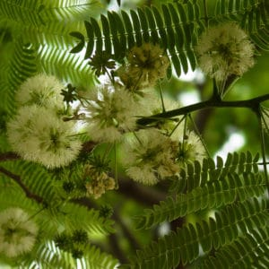 Enterolobium cyclocarpum guanacaste tree flowers