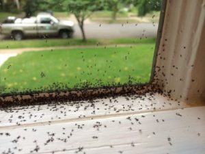 Fungus gnats heavy infestation