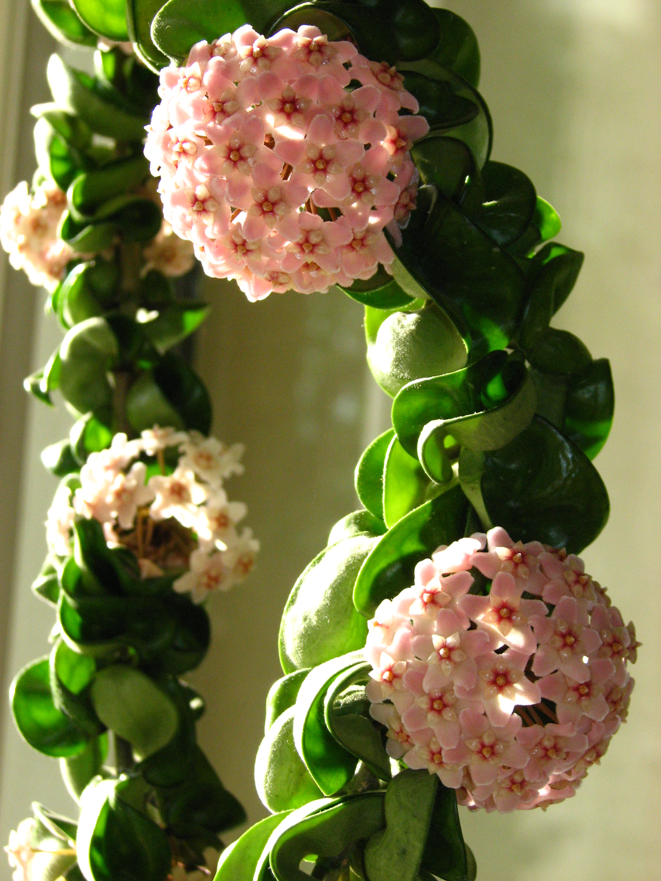 Hoya Compacta Hindu Rope Tropics At Home