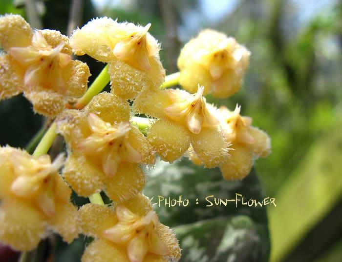 Hoya imbricata flowers