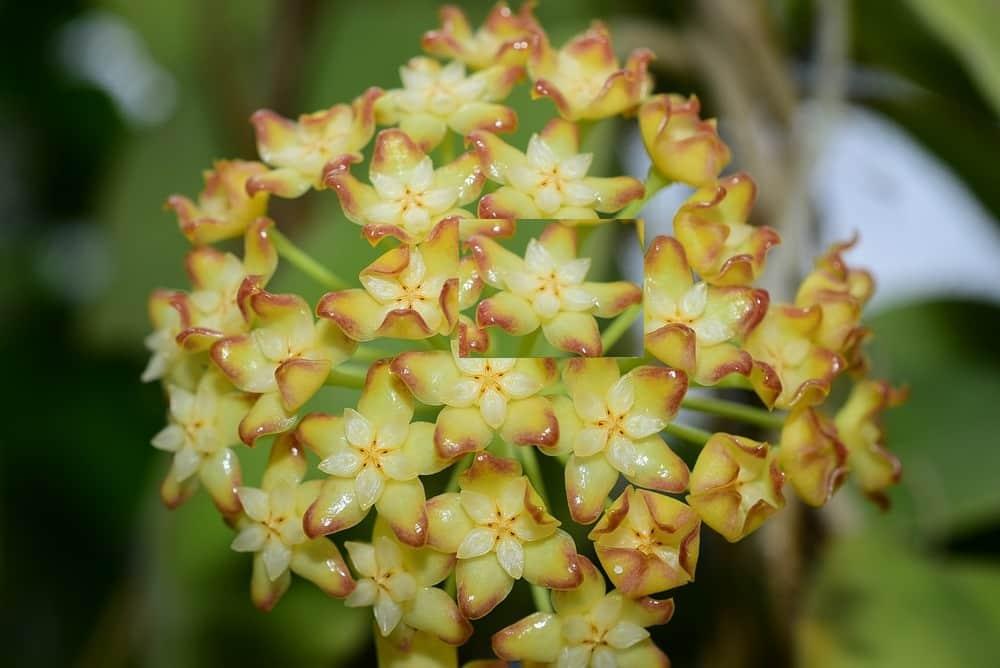 Hoya incrassata variegata
