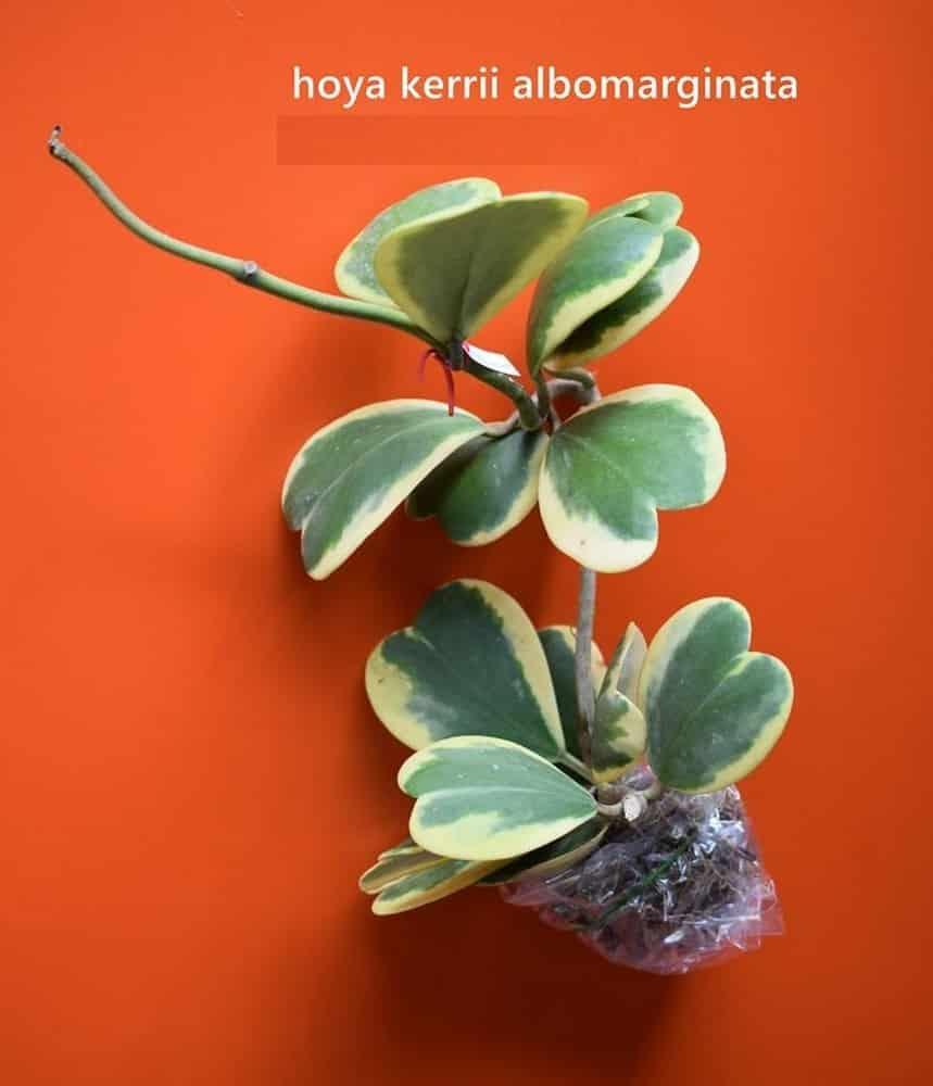 Hoya Kerrii Albomarginata Tropics Home
