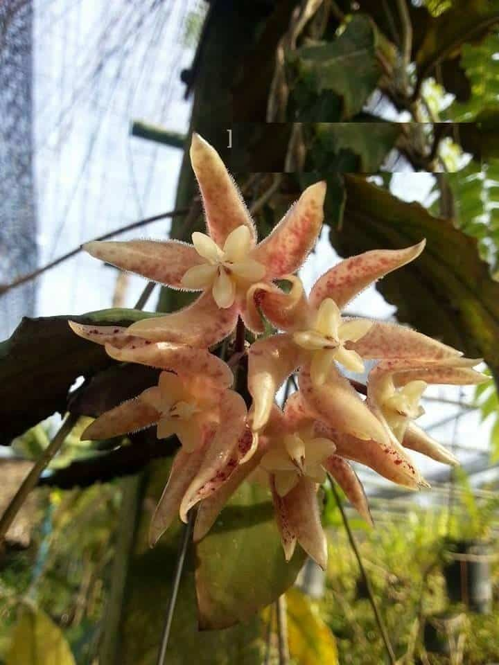 Hoya Undulata Tropics At Home