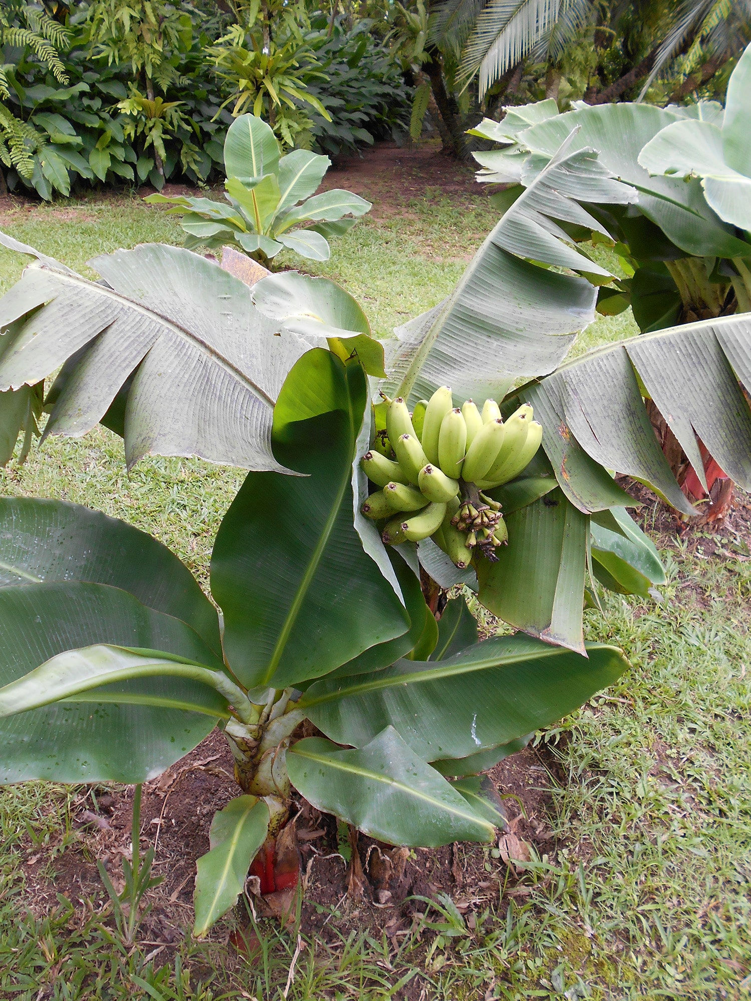 musa acuminata Musa acuminata 'dwarf cavendish'- this is one of the best bananas for many locations it was once a very popular commercial variety and is still widely grown it was once a very popular commercial variety and is still widely grown.
