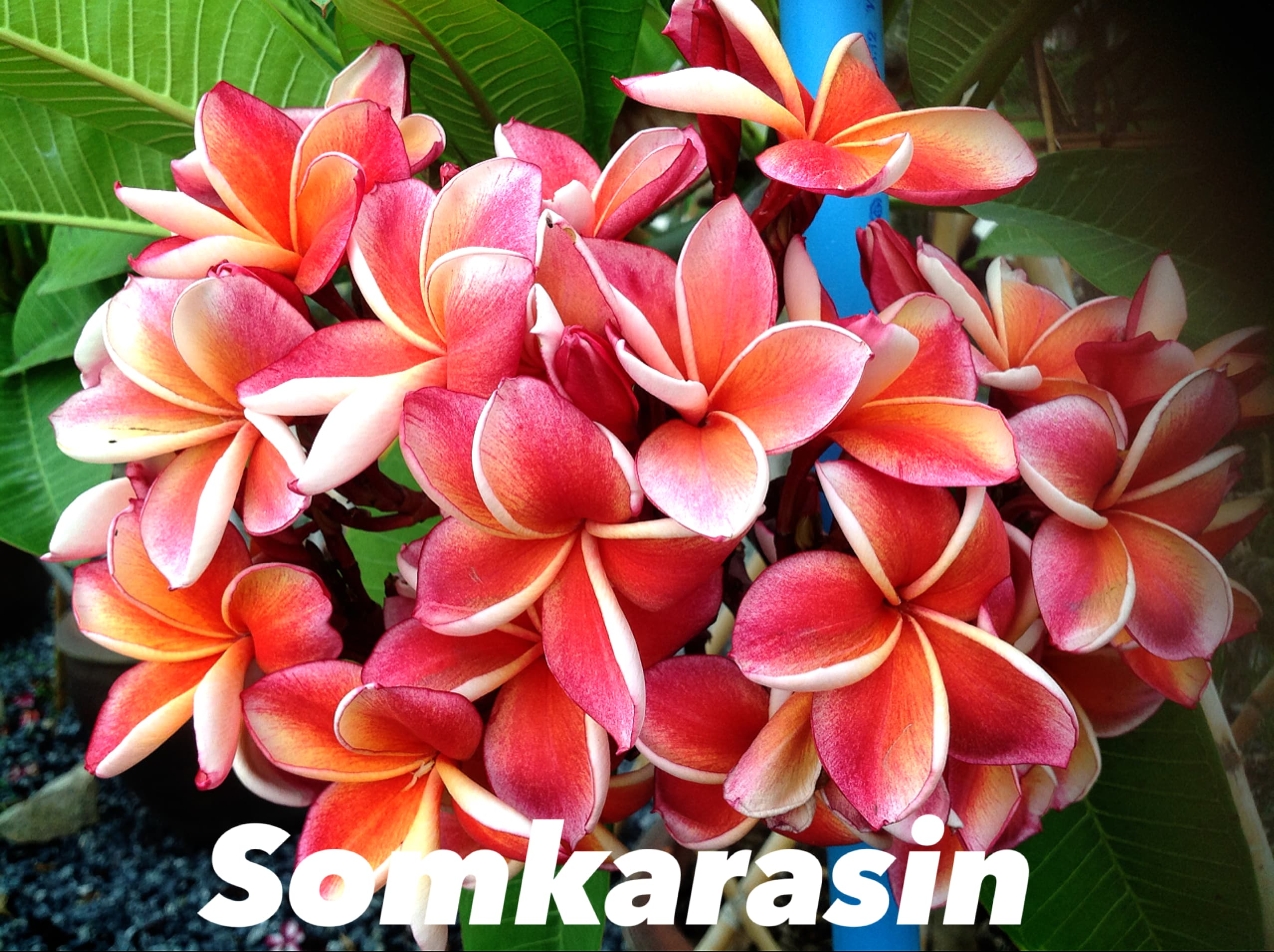 Growing Plumeria (Frangipani) indoors in containers. Part2/5