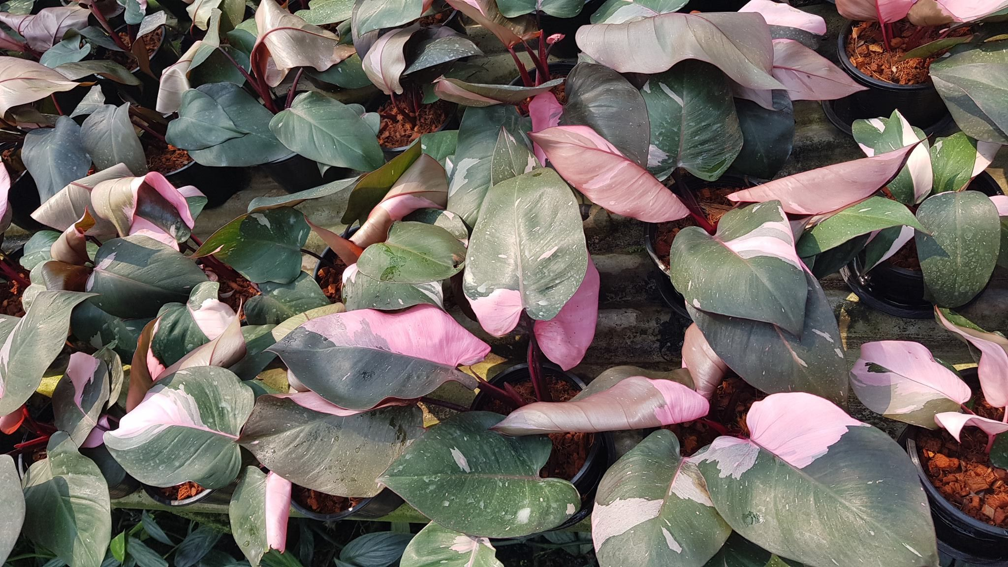 Philodendron With Pink Flowers Flowers Healthy