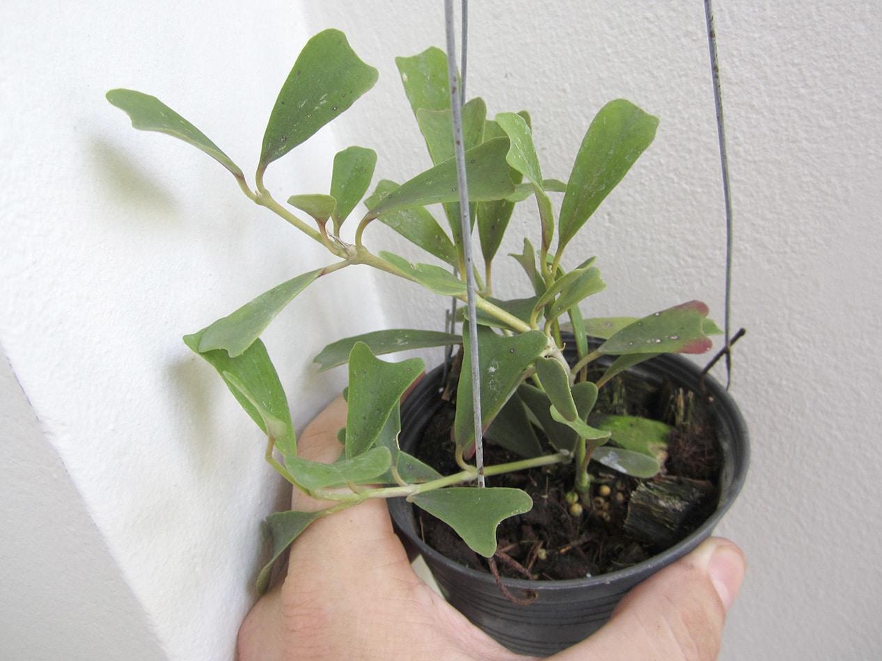 Hoya manipurensis large plant for sale