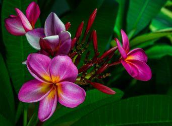 Plumeria 'Siam red' indoors