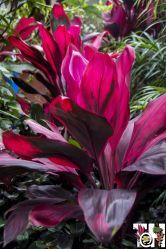 Ti plant (Cordyline fruticosa 'Ruby')