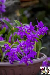 orchid Guaria Morada - national flower of Costa Rica
