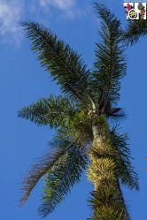 Queen palm (Syagrus romanzoffiana) covered in bromeliads