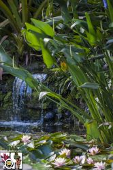 Small waterfall in water lily pond