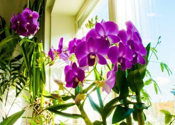 Dendrobium nobile and Vanda
