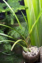 Cocos orchid (Maxilaria tenuifolia)
