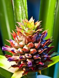 Flowering pineapple (Ananas comosus)