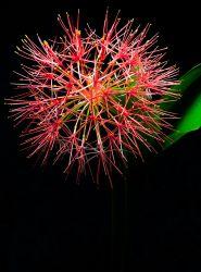 Blood lily (Scadoxus multiflorus) firework flowering