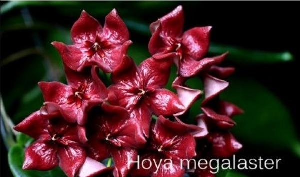 Hoya-megalaster