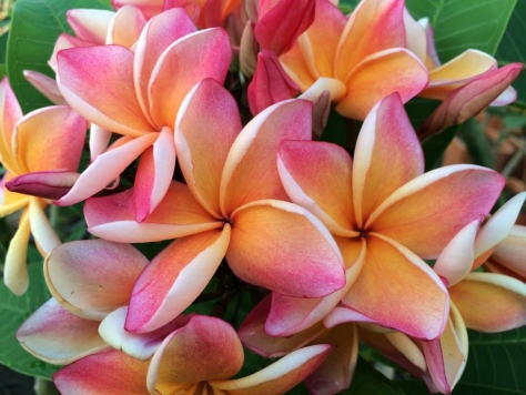 Plumeria rubra 'Penang Peach'